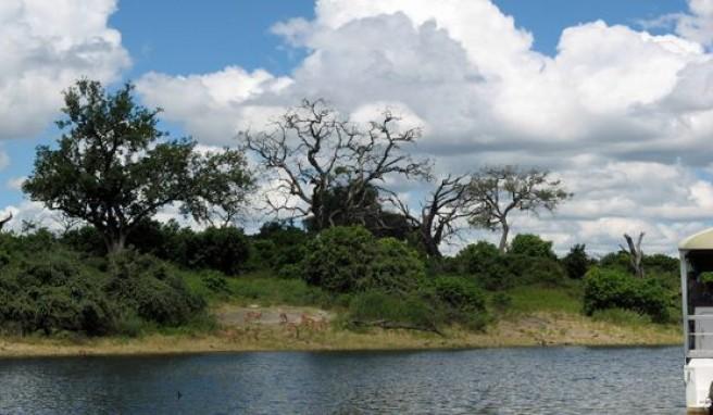 Am River Chobe im gleichnamigen Nationalpark in Botswana