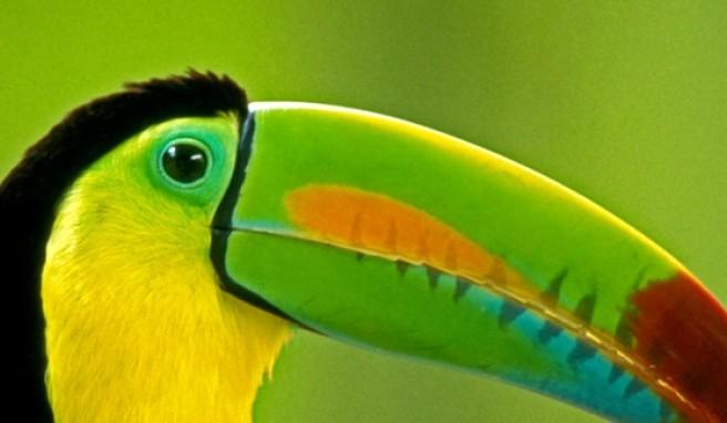 Vögel wie den Tucan beobachtet man häufig in den Regenwäldern von Costa Rica.