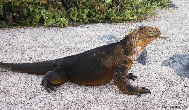 Ein Leguan wärmt sich in der Sonne