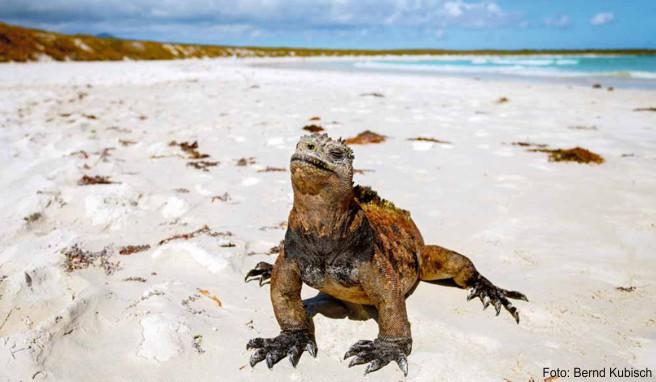Die auf Galápagos endemische Meerechse ist die einzige Leguan-Art, die ihre Nahrung im Meer findet