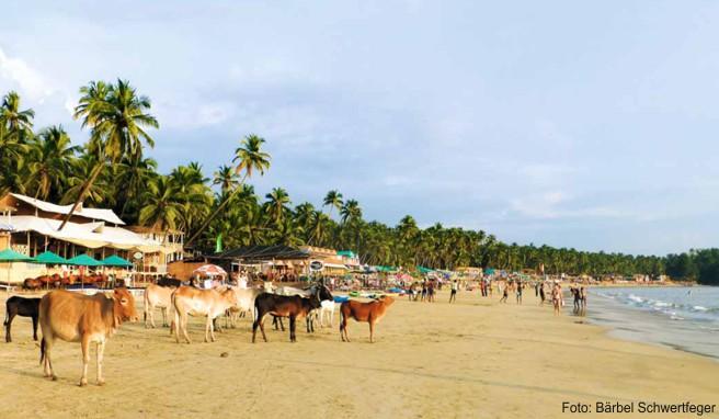 Palolem ist einer der schönsten Strände Indiens und entsprechend beliebt – nicht nur bei Urlaubern, sondern auch bei den heiligen Kühen