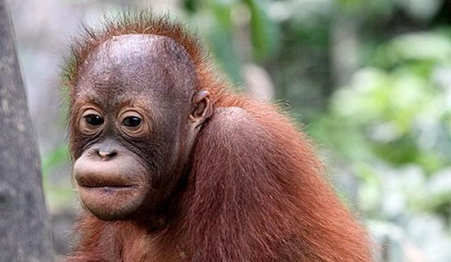 Orang Utans, die sanften Riesen in Malaysia