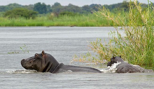 Flusspferde am Kwando River im Caprivi-Zipfel, Namibia
