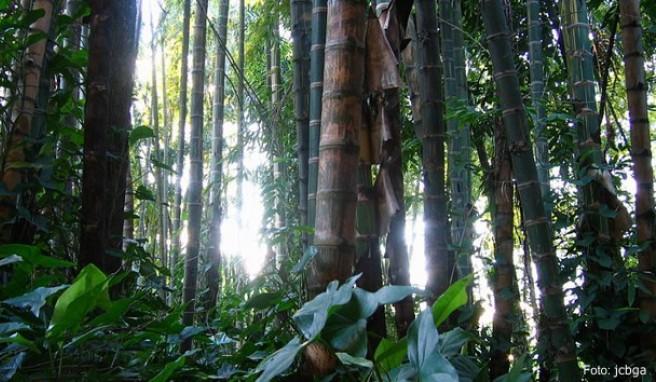 Im Jardin Botanico-Bosque de Guadua kann man riesigen Bambus bestaunen. Dieser botanische Garten ist für seine Artenvielfalt bekannt und punktet mit seinen vielen verschiedenen Orchideen.