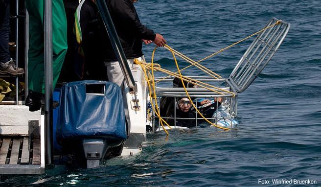 Ein bedrohter Unterwasserriese ist bei Gans Baai ein besonders begehrtes Fotoobjekt: der Weiße Hai.