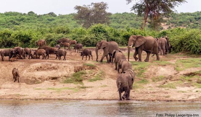 Wildlife im Überfluss: Am Ufer des Kazinga-Kanals lässt sich eine ganze Elefantenherde beobachten