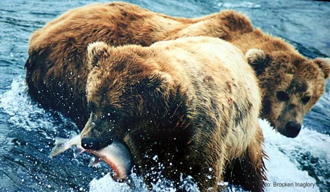 Immer wieder ein tolles Erlebnis: Braunbären beim Lachsfang beobachten