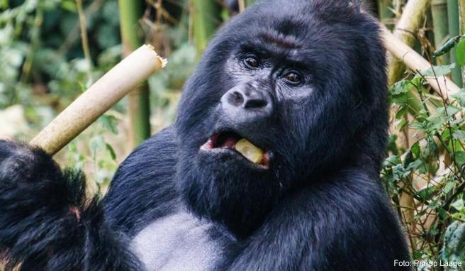 Touristen können die Gorillas im Virunga-Nationalpark besuchen - doch nun wurde der Park wegen Sicherheitsbedenken vorübergehend geschlossen.