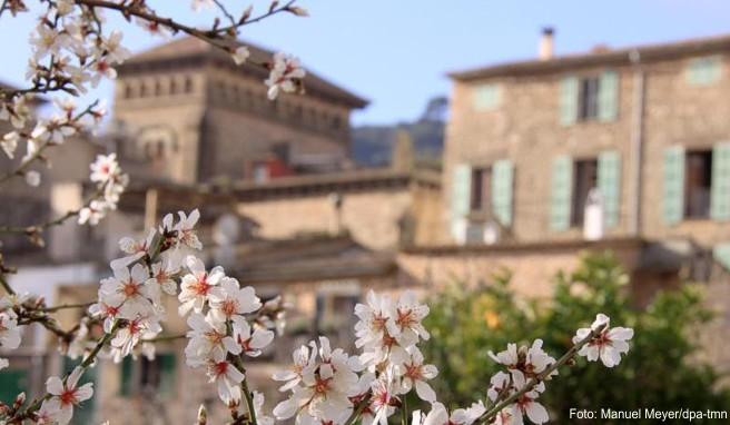 Frühlingshaftes Ambiente im Februar auf Mallorca: blühende Mandelbäume in Valldemossa