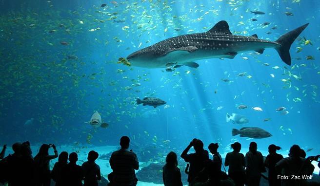 Riesige Walhaie können im Georgia Aquarium in Atlanta bestaunt werden