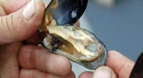 Wer gerne Muscheln und Schalentiere isst, sollte sich impfen lassen.