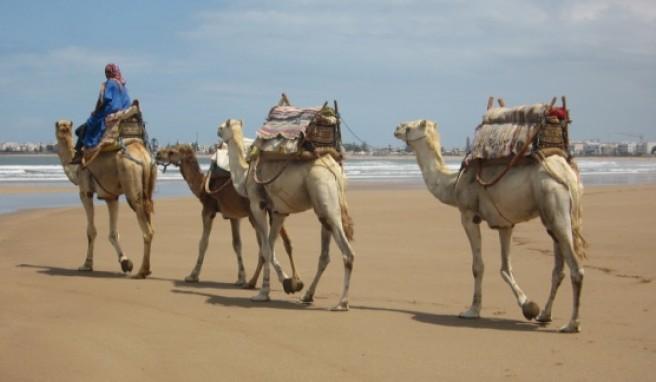 Auch heute noch werden Kamele in Essaouira als Transportmittel eingesetzt.