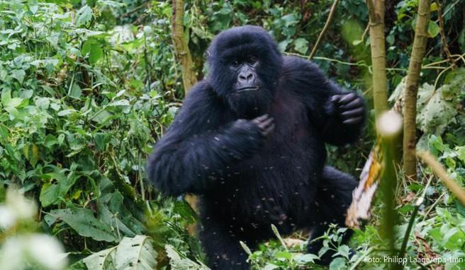 Urlaubsattraktion In Afrika Was Reisende Beim Gorilla Tracking Wissen Mussen